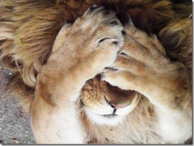 shy lion
